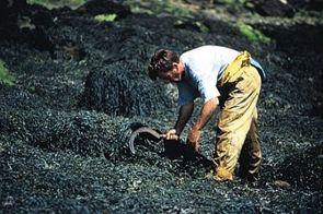 Revue de presse - En Bretagne, les algues sont matière première