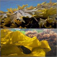 Aligator : venez découvrir la base de données sur les propriétés alimentaires et cosmétiques des algues